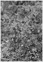Blueberries in the fall. Denali National Park, Alaska, USA. (black and white)