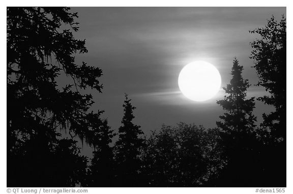Spruce trees at Sunrise. Denali National Park (black and white)