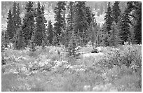 Bull Moose in boreal forest. Denali National Park, Alaska, USA. (black and white)