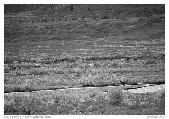 Grizzly bear on distant river bar in tundra. Denali National Park (black and white)