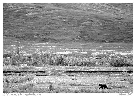 Grizzly bear on river bar. Denali National Park (black and white)