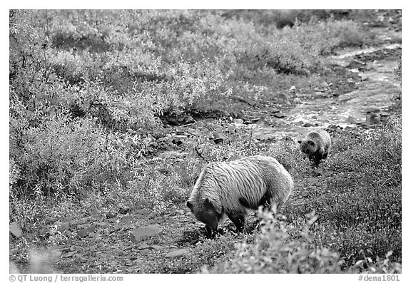 Grizzly bear and cub digging for food. Denali National Park (black and white)