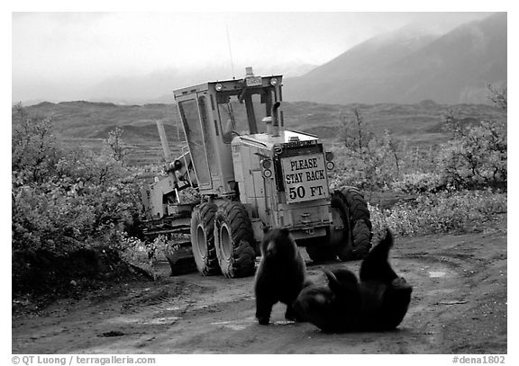 Two Grizzly bears playing. Denali National Park (black and white)