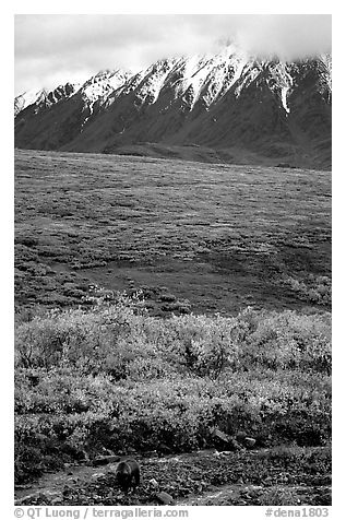 Grizzly bear and Alaska range. Denali National Park (black and white)