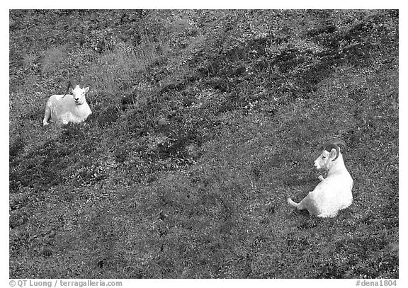 Two Dall sheep. Denali National Park (black and white)