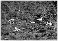 Group of Dall sheep. Denali National Park ( black and white)