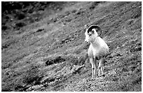 Dall sheep standing on hillside. Denali National Park, Alaska, USA. (black and white)