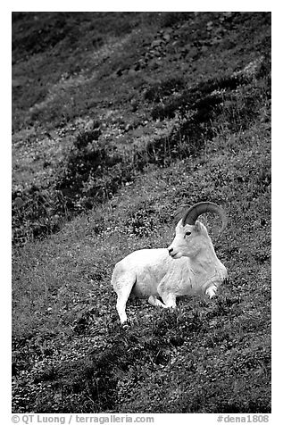 Dall sheep laying on hillside. Denali National Park, Alaska, USA.