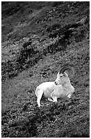 Dall sheep laying on hillside. Denali National Park, Alaska, USA. (black and white)
