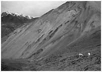 Dall sheep near Sable Pass. Denali National Park, Alaska, USA. (black and white)
