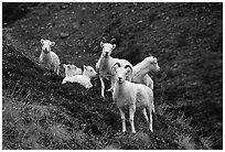 Group of Dall sheep. Denali National Park, Alaska, USA. (black and white)