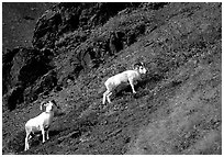 Two Dall sheep climbing on hillside. Denali National Park, Alaska, USA. (black and white)