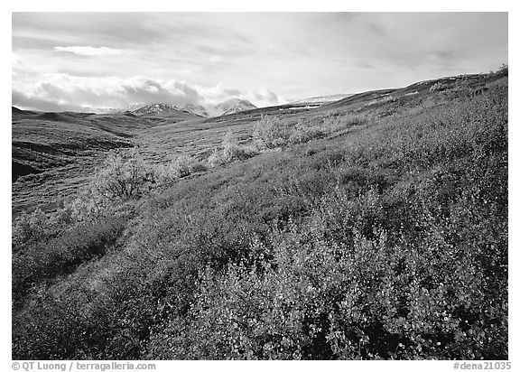 Red bushes on hillside, and cloud-capped mountains. Denali  National Park (black and white)