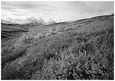 Red bushes on hillside, and cloud-capped mountains. Denali National Park, Alaska, USA. (black and white)