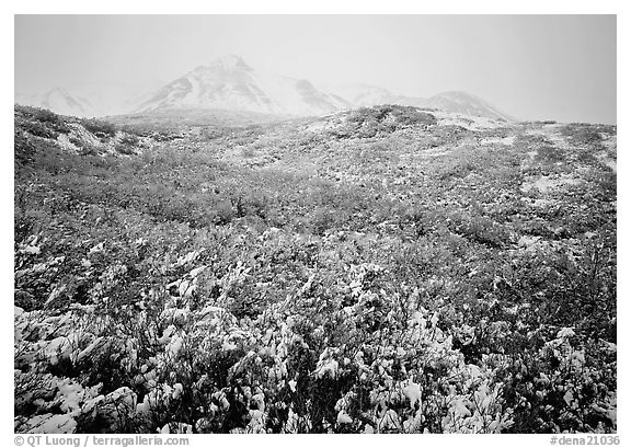 Fresh snow and Polychrome Mountains. Denali  National Park (black and white)