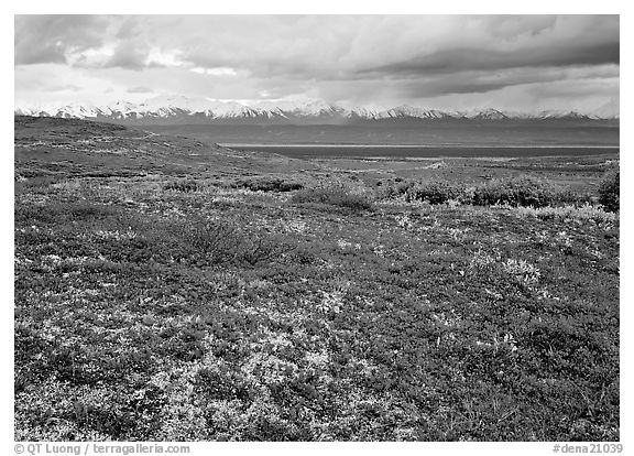 Red tundra flat and Alaska Range in the distance. Denali National Park (black and white)
