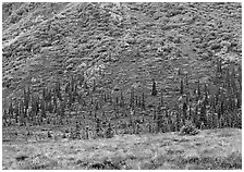 Tundra and conifers on hillside with autumn colors. Denali National Park, Alaska, USA. (black and white)
