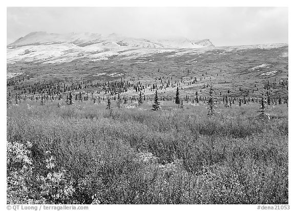 Berry plants in autumn color with early snow on mountains. Denali National Park (black and white)