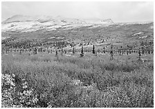 Berry plants in autumn color with early snow on mountains. Denali National Park ( black and white)