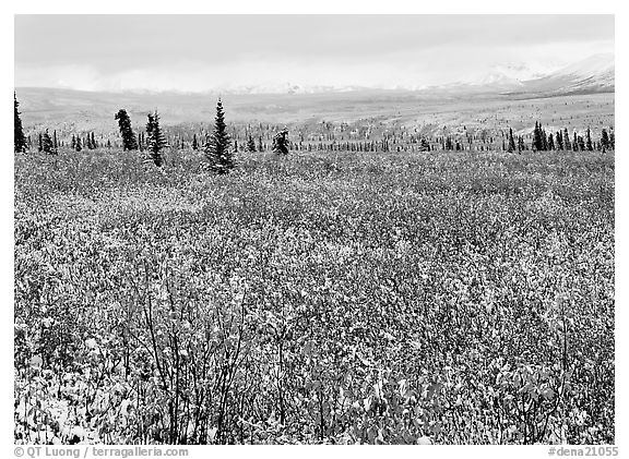 Fresh snow on tundra and berry leaves. Denali  National Park (black and white)