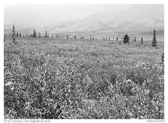 Berry leaves, trees, and mountains in fog with dusting of fresh snow. Denali National Park (black and white)