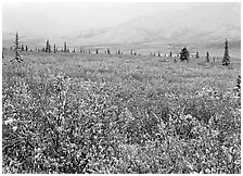 Berry leaves, trees, and mountains in fog with dusting of fresh snow. Denali National Park ( black and white)