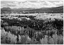 Yellow aspens and Panorama Range, Riley Creek drainage. Denali National Park ( black and white)