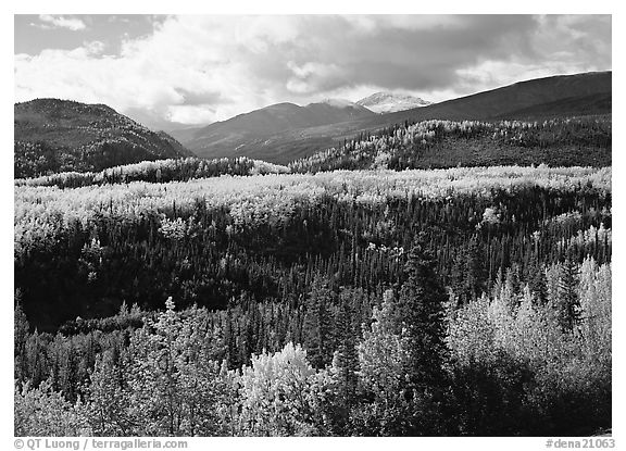 Aspens in fall colors and mountains near Riley Creek. Denali  National Park (black and white)