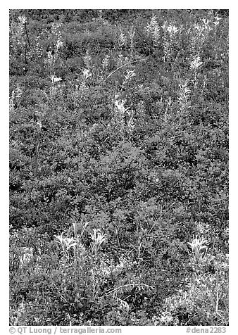 Dwarf tundra plants with red fall colors. Denali National Park (black and white)
