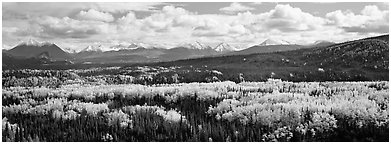 Mountain landscape with aspens in fall color. Denali National Park (Panoramic black and white)