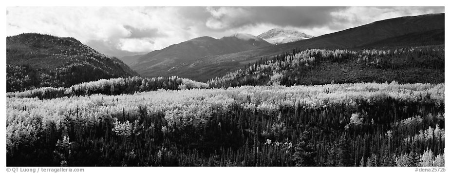 Yellow aspens and boreal forest. Denali National Park (black and white)