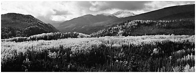 Yellow aspens and boreal forest. Denali National Park (Panoramic black and white)