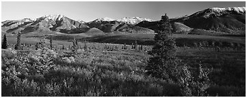 Tundra scenery with trees and mountains in autumn. Denali  National Park (Panoramic black and white)