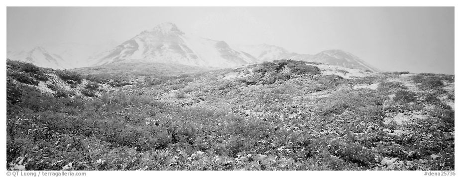Misty mountain landscape with fresh now and autumn colors. Denali National Park (black and white)