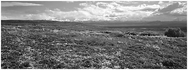 Carpet of berry plants in autumn with distant Alaska Range. Denali National Park (Panoramic black and white)