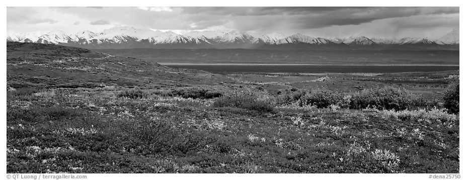 Tundra landscape with red berry plants and Alaskan mountains. Denali National Park (black and white)