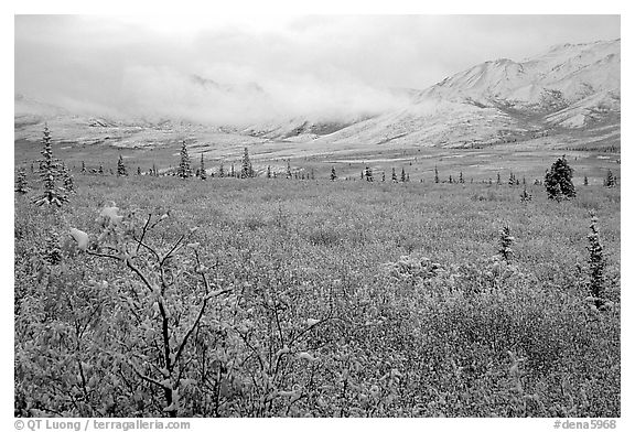 Fresh snow on berry plants near Savage River. Denali National Park (black and white)