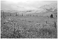 Fresh snow on berry plants near Savage River. Denali National Park, Alaska, USA. (black and white)