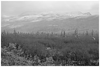 Fog and fresh snow on tundra near Savage River. Denali National Park, Alaska, USA. (black and white)