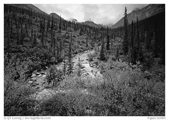Bright berry leaves, boreal forest, Arrigetch Creek. Gates of the Arctic National Park (black and white)
