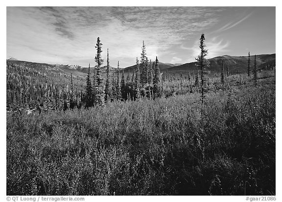 Black Spruce and berry plants in autumn foliage, Alatna Valley. Gates of the Arctic National Park (black and white)