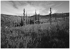Black Spruce and berry plants in autumn foliage, Alatna Valley. Gates of the Arctic National Park, Alaska, USA. (black and white)