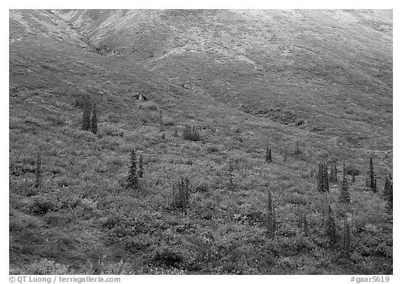 Tundra and spruce trees on mountain side below snow line. Gates of the Arctic National Park (black and white)