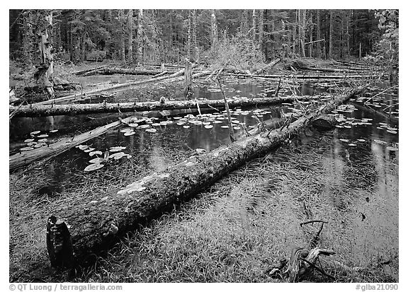 Pond in Rainforest, Bartlett cove. Glacier Bay National Park (black and white)