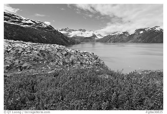 Lupine, Lamplugh glacier, and West Arm. Glacier Bay National Park (black and white)