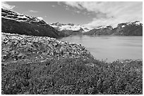 Lupine, Lamplugh glacier, and West Arm. Glacier Bay National Park, Alaska, USA. (black and white)