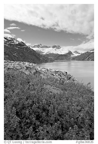 Lupine, Lamplugh glacier, and the Bay seen from a high point. Glacier Bay National Park (black and white)