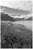 Lupine, Lamplugh glacier, and the Bay seen from a high point. Glacier Bay National Park ( black and white)