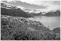 Lupine, Lamplugh glacier, and turquoise bay waters. Glacier Bay National Park, Alaska, USA. (black and white)