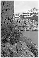 Dwarf fireweed, Lamplugh glacier, and Mt Cooper. Glacier Bay National Park, Alaska, USA. (black and white)